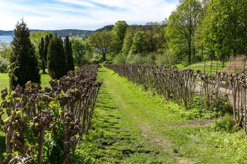 Asvo holder på å plante nytt på Rød Herregård