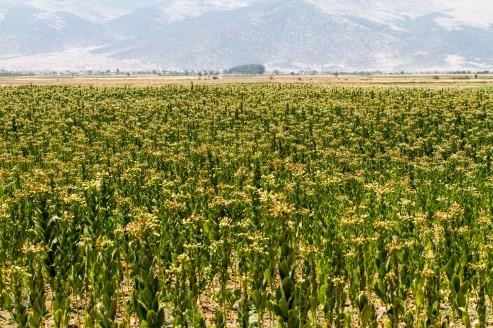 Åker med tobakksplanter